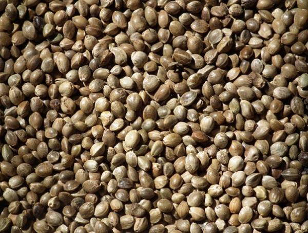高たんぱく質食品として知られている有機 麻の実ナッツ(ヘンプシード)」の栄養素とたんぱく質量を分析して紹介